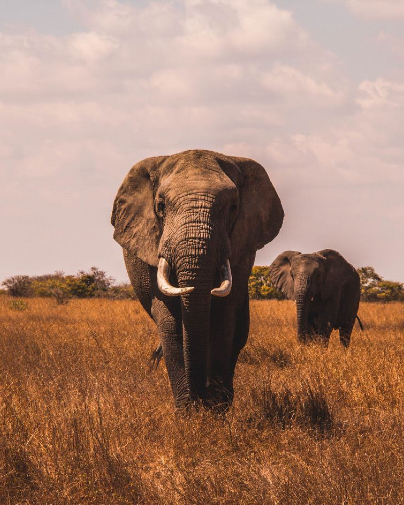 An african elephant walking towards the camera