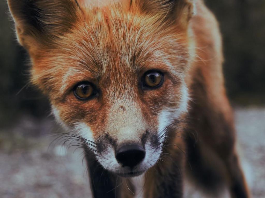 A fox staring at the camera